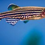 Zebrafish organismo modello per lo studio di patologie umane