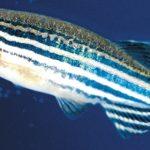 Zebrafish: un'ottimo modello animale per lo studio dello sviluppo embrionale